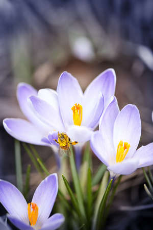 Pollen covered bee sitting on blooming crocus flowers in spring Stock Photo - 18341590