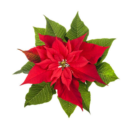 poinsettia: Red and green poinsettia plant for Christmas isolated on white background from above