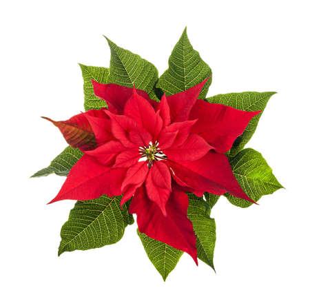 flor de pascua: Rojo y verde planta poinsettia de la Navidad aislado en el fondo blanco de arriba