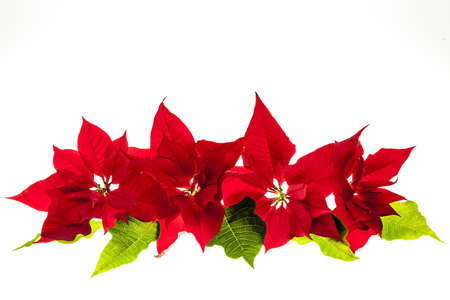 poinsettia: Christmas arrangement with red poinsettia plants isolated on white background Stock Photo