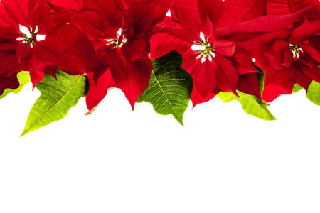 Christmas border of red poinsettia plants isolated on white background photo