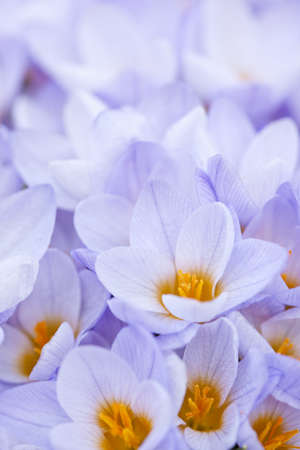 Closeup of many beautiful light purple crocus flowers blossoming Stock Photo - 18654196
