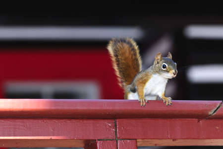 Alert tree squirrel with bushy tail on wooden red railing Stock Photo - 18654198
