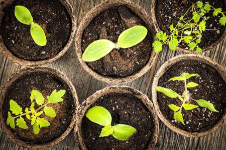 germinación: Plántulas en macetas biodegradables que crecen en macetas de turba de musgo desde arriba