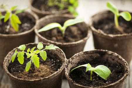 turf: Gepot zaailingen groeien in biologisch afbreekbaar turf potten Stockfoto