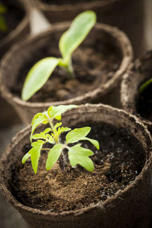 Potted seedlings growing in biodegradable peat moss pots close up photo