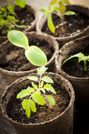 transplants: Potted seedlings growing in biodegradable peat moss pots close up