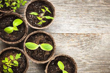 Potted zaailingen groeien in biologisch afbreekbare veenmos potten op houten achtergrond met kopie ruimte