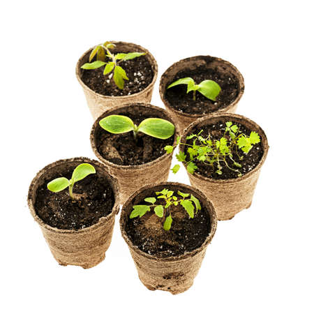 turba: Varias plantas de semillero en macetas biodegradables que crecen en macetas de turba de musgo aislado en el fondo blanco