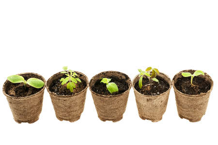 Row of potted seedlings growing in biodegradable peat moss pots isolated on white background photo