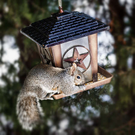 Gray squirrel sitting on bird feeder and eating seeds photo