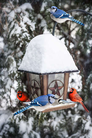 Bird feeder in winter with blue jays and cardinals photo