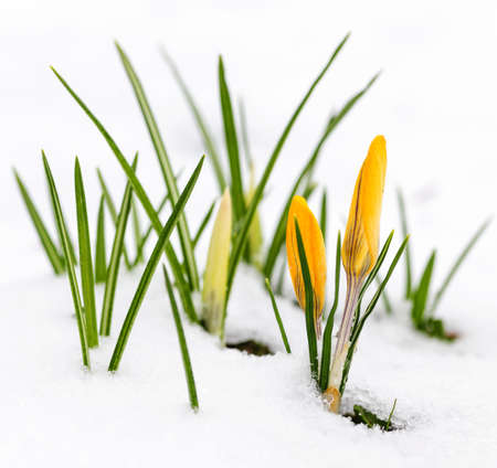 Yellow crocus flowers growing in snow during spring Stock Photo - 19382510