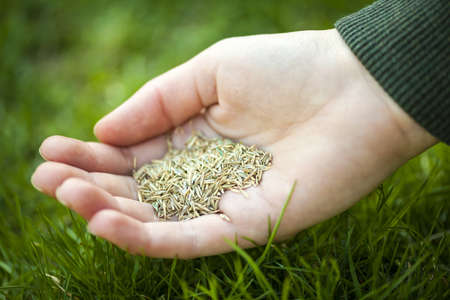 Grass seed for overseeding held in hand over green lawn