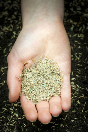 Grass seed held in hand over soil with planted seeds Stock Photo - 19341217