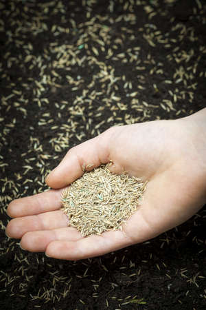 Grass seed held in hand over soil and planted seeds with copy space Stock Photo - 19341215