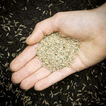 Grass seed held in hand over soil with planted seeds photo