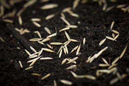 seeding: Closeup of grass seeds on fertile soil Stock Photo