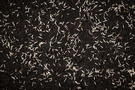 seeding: Grass seeds scattered on fertile soil from above