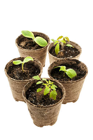 transplants: Several potted seedlings growing in biodegradable peat moss pots isolated on white background
