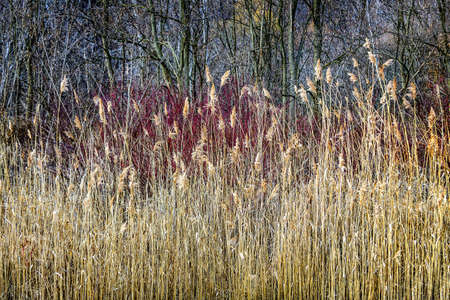 tall grass: Winter reeds and forest at Scarborough Bluffs in Toronto, Canada  Stock Photo