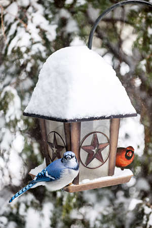snow cardinal: Blue jay and cardinal birds on bird feeder in winter