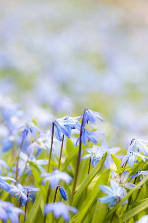 perennial plant: Spring background with early blue flowers glory-of-the-snow and copy space for text
