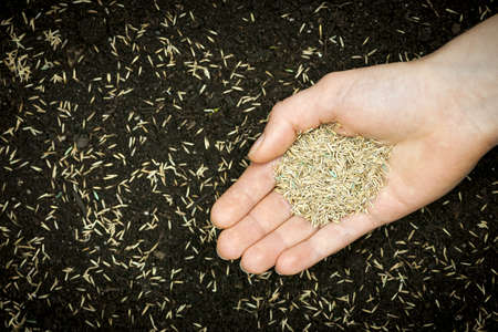 Grass seed held in hand over soil and planted seeds with copy space photo