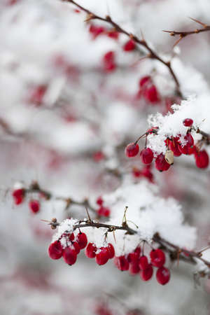 barberry: Snowy red barberry berries closeup in winter