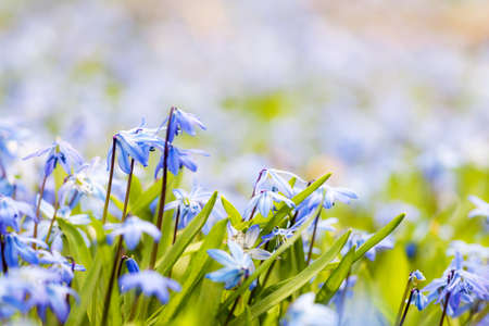 Spring background with early blue flowers glory-of-the-snow and copy space for text