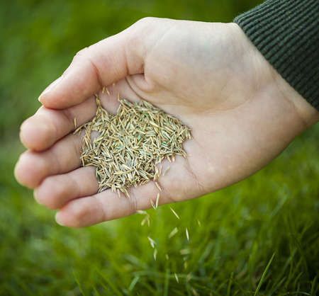 seeding: Hand planting grass seed for overseeding green lawn care