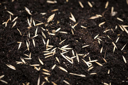 Closeup of grass seeds on fertile soil photo