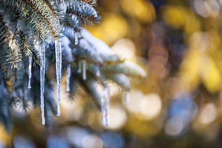 Christmas winter background with icicles hanging from spruce branches