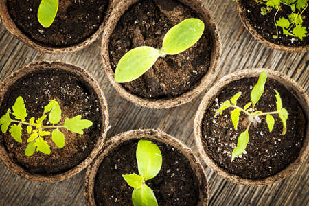 transplants: Potted seedlings growing in biodegradable peat moss pots from above