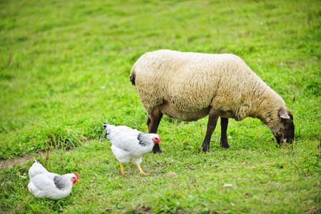Sheep and chickens freely grazing on a small scale sustainable farm