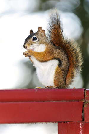 red squirrel: Tree squirrel eating nut sitting on wooden red railing