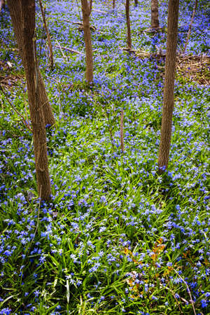 flowering field: Forest floor with spring blue glory-of-the-snow flowers blooming in abundance. Ontario, Canada.