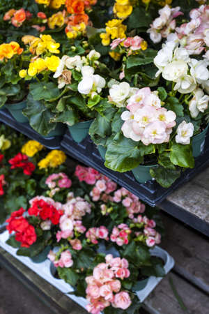 perennial plant: Trays of flowers for sale in plant nursery store Stock Photo