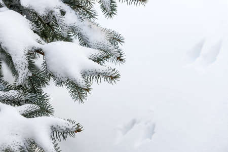 Winter evergreen tree branches under fluffy snow with copy space photo