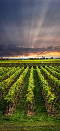Verticale panorama van wijngaard bij zonsondergang in Niagara schiereiland, Ontario, Canada. Stockfoto