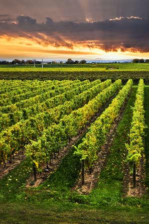 Vineyard at sunset in Niagara peninsula, Ontario, Canada. photo