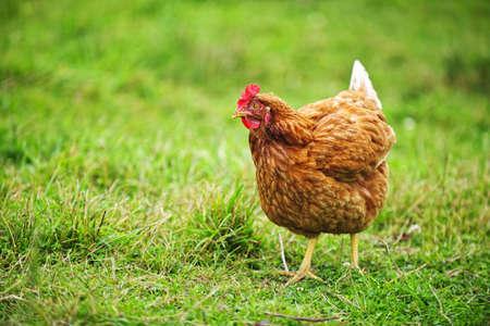 Vrije uitloop happy Rhode Island Red kip lopen op gras