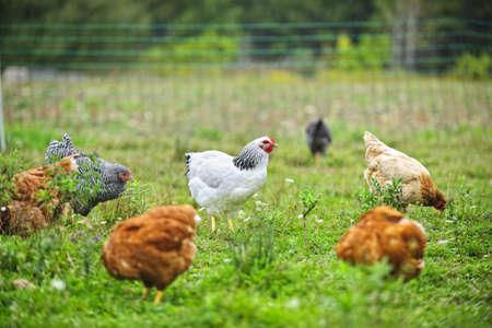 Varios pollos de corral que se alimentan de la hierba en la granja orgánica Foto de archivo - 20828911