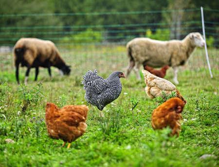 小規模な持続可能な農場で自由に放牧羊と鶏