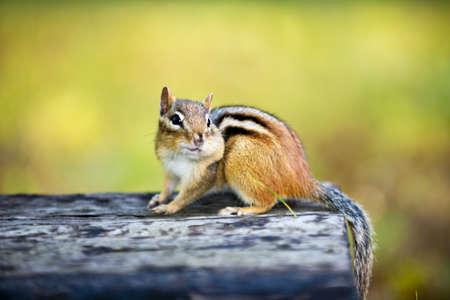 Cute wild chipmunk with one stuffed cheek standing on wooden log