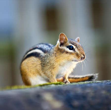 Wild chipmunk close up crouching on wooden log