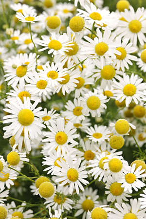 Flowering chamomile growing in summer meadow close up Stok Fotoğraf