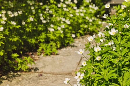 Wildflower garden with paved path and blooming wood anemones 写真素材