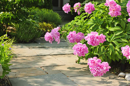 Summer garden with paved path and blooming pink peony flowers Zdjęcie Seryjne - 22084988