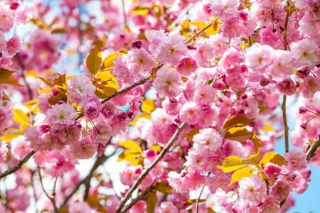 Pink cherry blossom flowers on flowering tree branches blooming in spring orchard